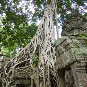 Famous-Trees-at-Angkor-Temple-of-Doom